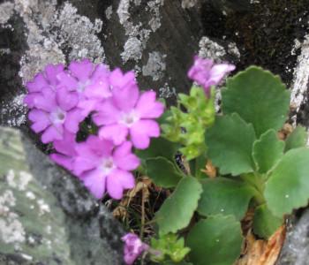 Alpine Flora im Avers