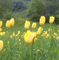 Esspflanzen und wilde Tulpen