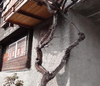 Humagne Blanche - Aelteste Rebe der Schweiz